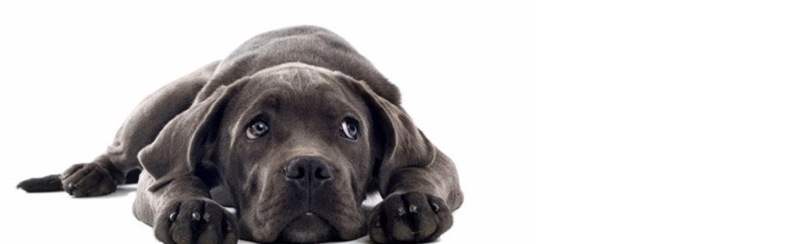 Tout savoir sur l'insuffisance cardiaque du chien âgé