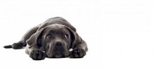 Animal VETDOM chien braque