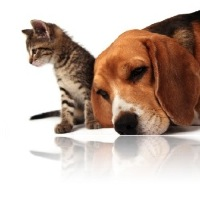 Beagle et Chat VETDOM