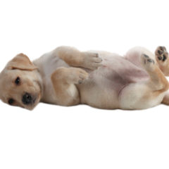 Vetdom Chiot Elevage Veterinaire Narbonne