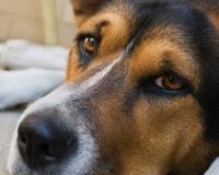 Tout savoir sur la dysplasie de la hanche chez le chien