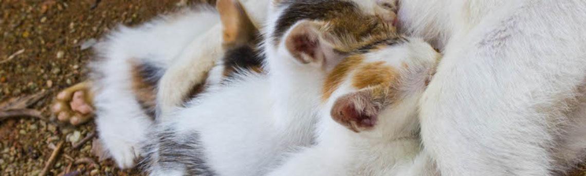 Le cycle sexuel chez les chats