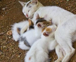Cycle sexuel de la chatte