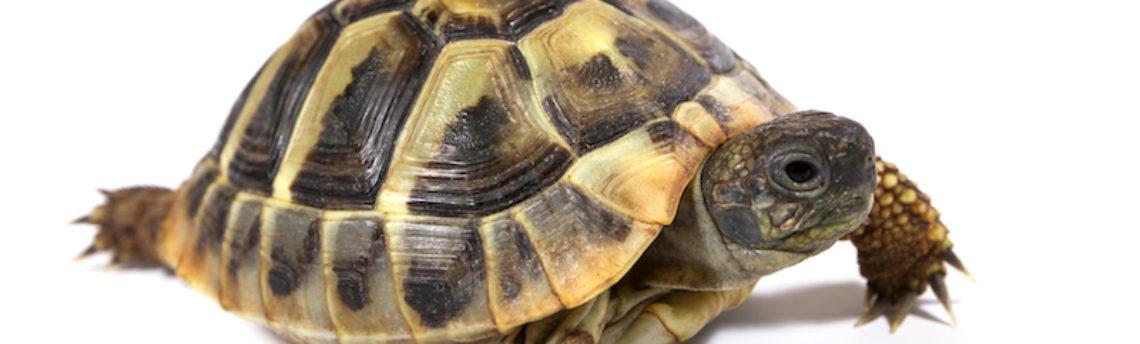 Faut-il faire hiberner sa tortue ?