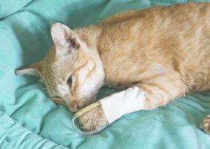 Chat pancréatite féline perfusion Vetdom Vétérinaires à Narbonne