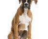 Tout savoir sur le chien boxer