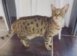 Intoxication au paracétamol chez le chat