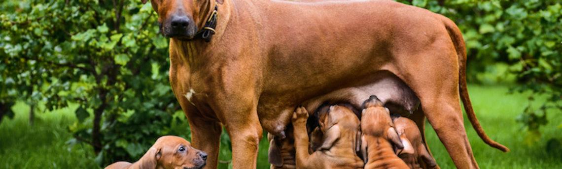 La grossesse nerveuse chez la chienne