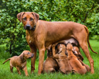Alimentation de la chienne en gestation