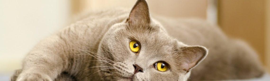 Les calculs urinaires chez le chat