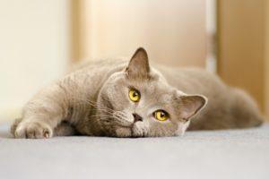 Chat calculs urinaires Vetdom Vétérinaire Narbonne