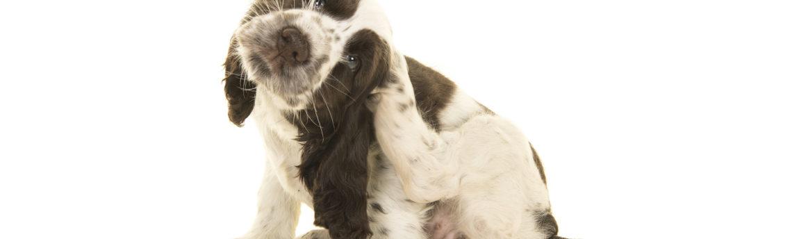 Mon chien se gratte: que faut-il faire ?