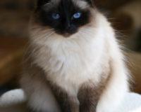 Tout savoir sur le chat Sacré de Birmanie