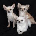 Tout savoir sur le Chihuahua