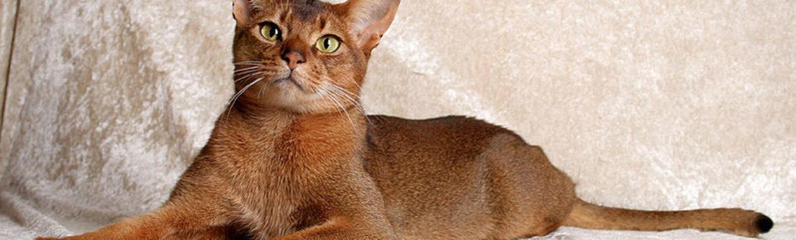 Tout savoir sur le chat Abyssin
