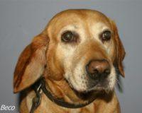 Mon chien a un othématome : que faire ?