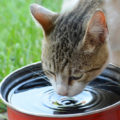 Mon chat boit beaucoup: dois-je m'inquiéter ?