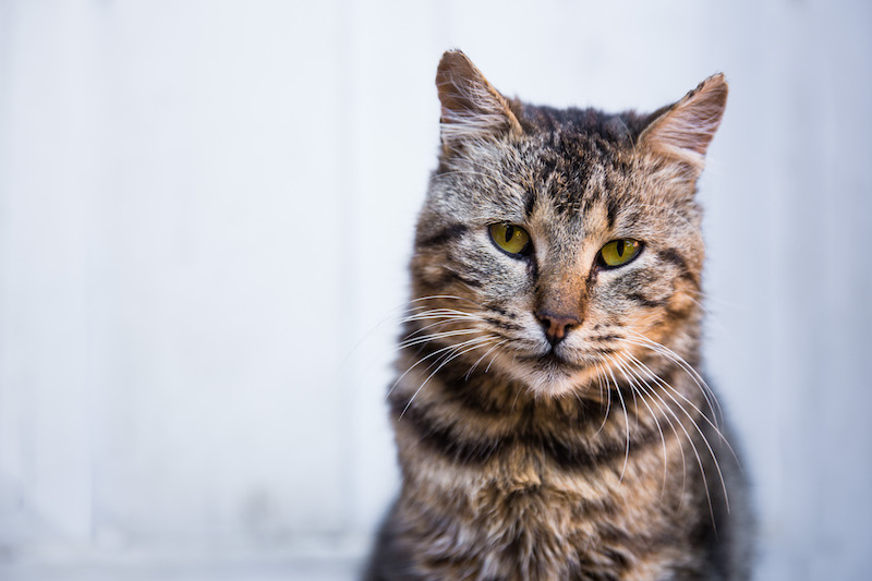 Vieux chat hyperthyroidie