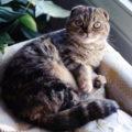 Tout savoir sur le chat Scottish Fold