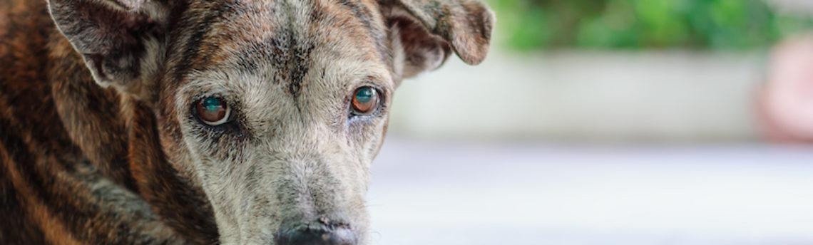 Tout savoir sur l'accident vasculaire cérébral chez le chien