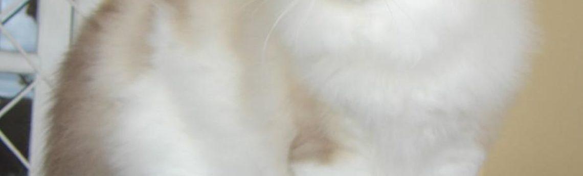 Tout savoir sur le chat Ragdoll
