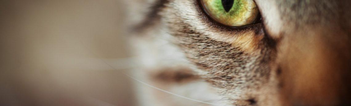 L'ulcère cornéen chez le chat
