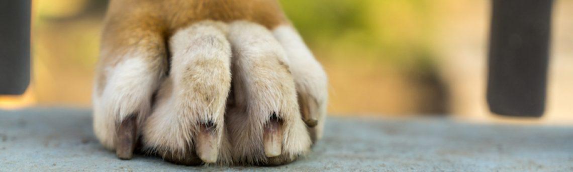 Mon chien se casse les griffes: est-ce grave ?
