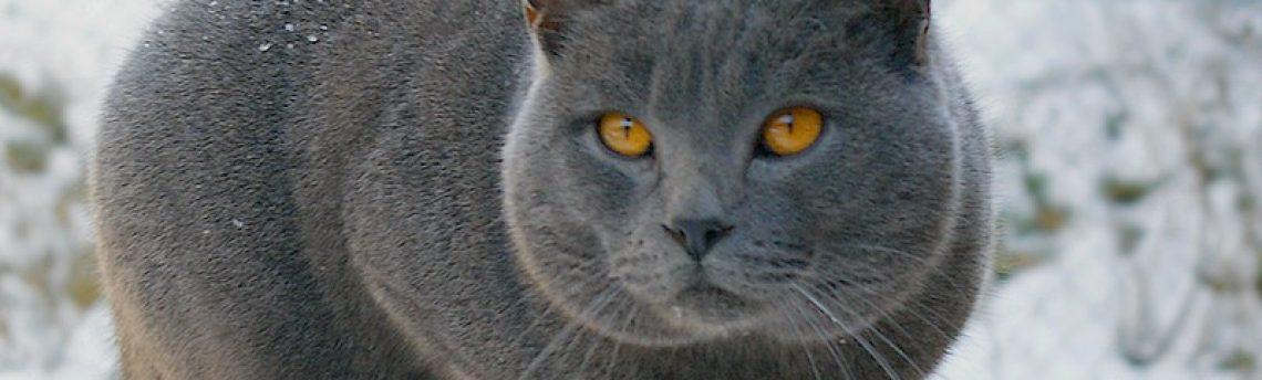 Tout savoir sur le chat Chartreux