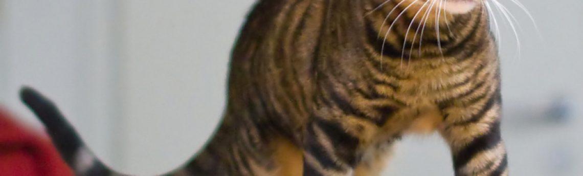 Tout savoir sur le chat Toyger