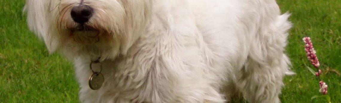 Le syndrome de Cushing chez le chien