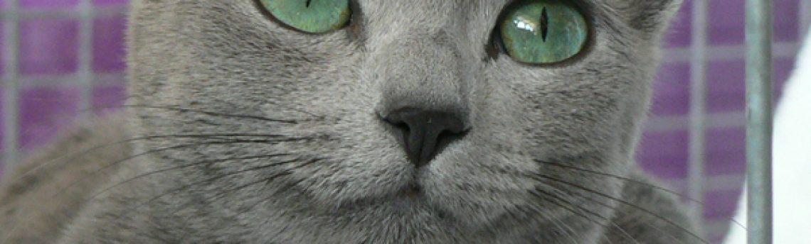 Tout savoir sur le chat Bleu Russe