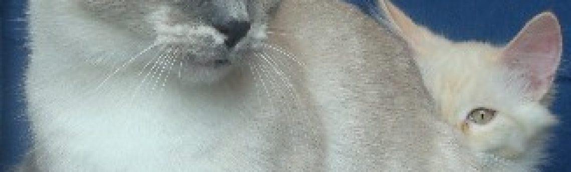 Tout savoir sur le chat Munchkin