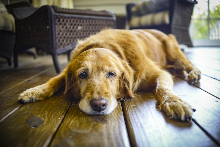 Vieux chien hypothyroïdie