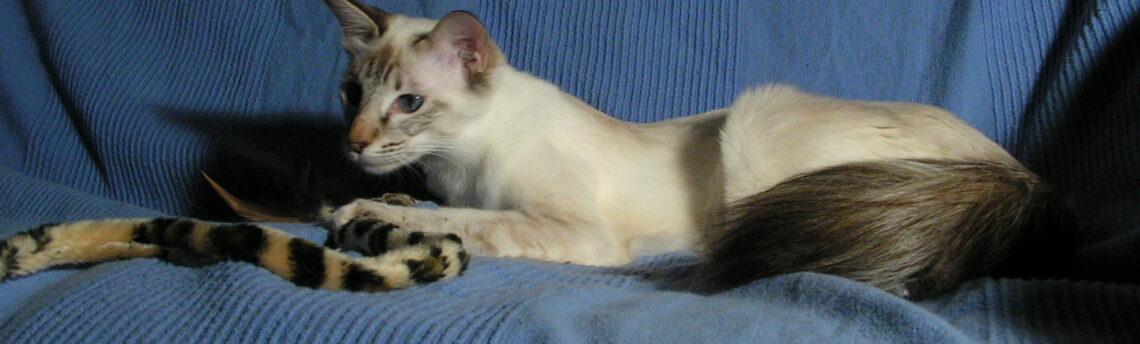 Tout savoir sur le chat Balinais.