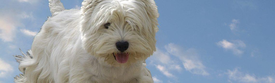Tout savoir sur le chien West Highland White Terrier.