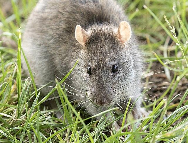 Rat raticides