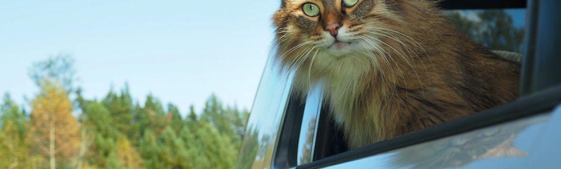 Mon chat a le mal des transports: que puis-je faire ?